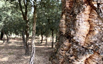 Apuesta por el cultivo intensivo del alcornoque para fomentar la industria del corcho